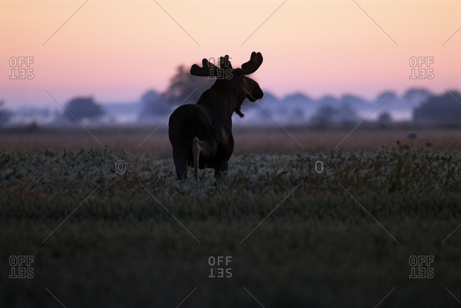 An elk in the sunrise, Sweden