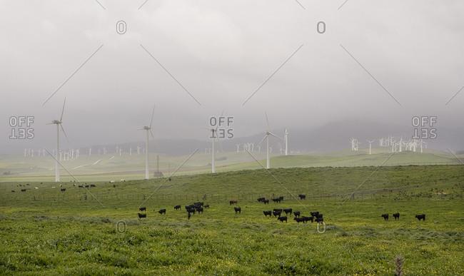 Bulls grazing by wind turbines, Spain