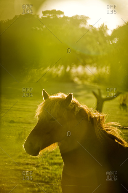 A horse in evening sun, Sweden