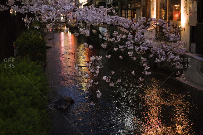 Cherry blossom hanging over water, Japan