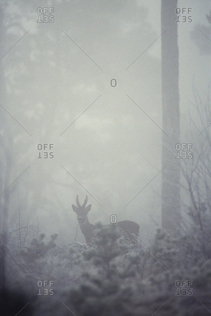 Roe deer standing in foggy forest