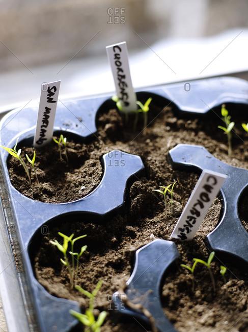 Close up of growing seedlings beginning