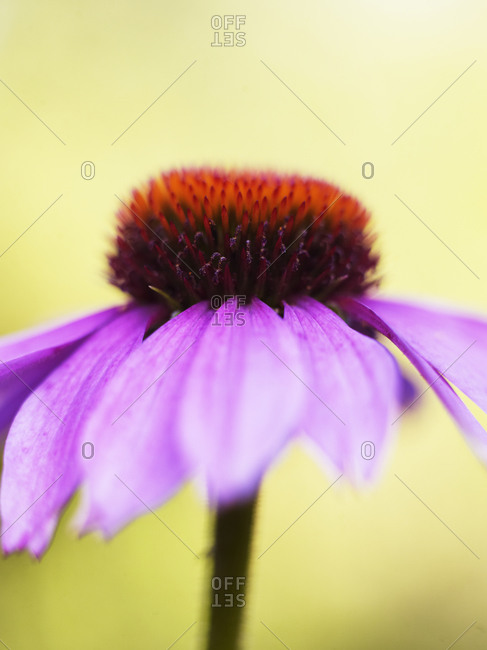Close up of Echinacea flower blossoming