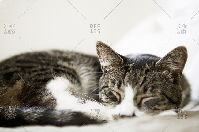 Tabby Cat sleeping animal portrait
