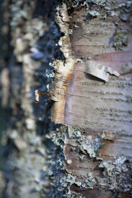 Bark of Birch tree bark
