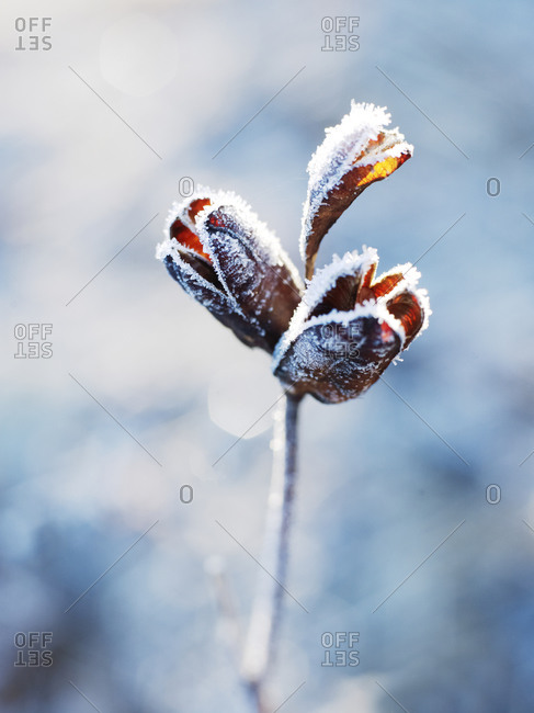 Close up of frosted plant Close up