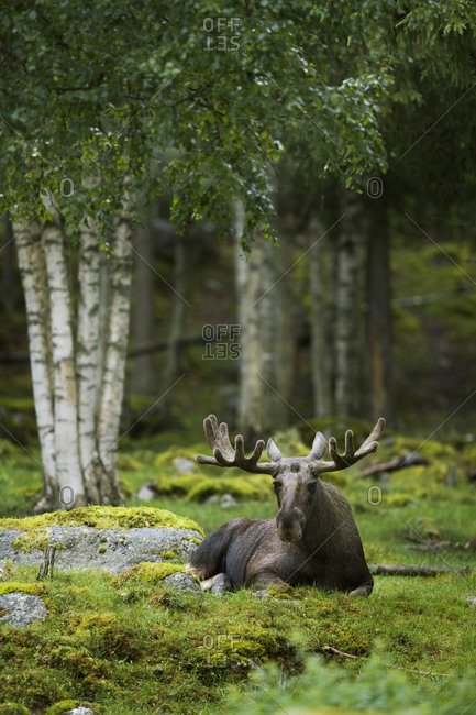 A moose laying down