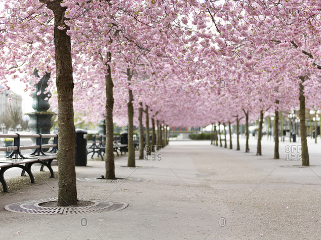 Alley tree lined with Cherry trees avenue