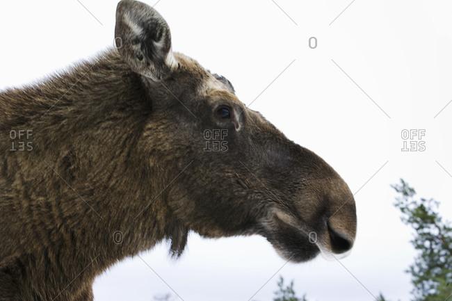 An elk