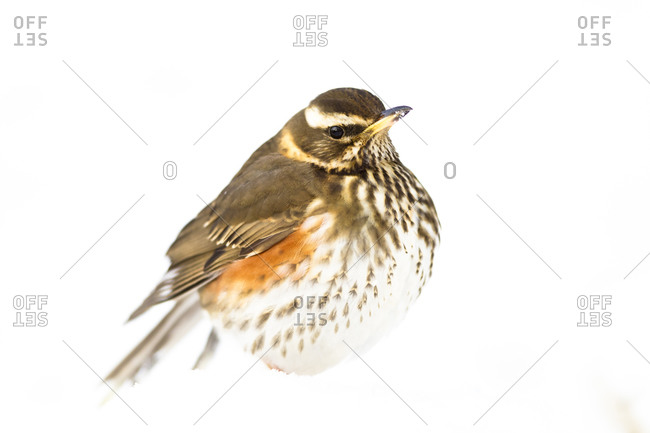 Close up of redwing animal Portrait