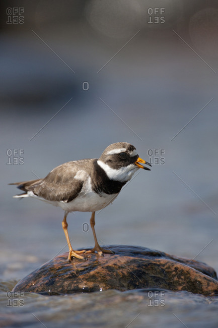 Ringed plover animals in the wild