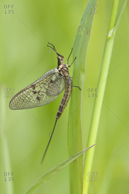 Insect on blade of grass in the wild