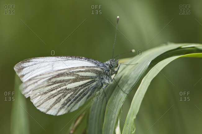 Sharp veined White butterfly on blade of grass animals in the wild