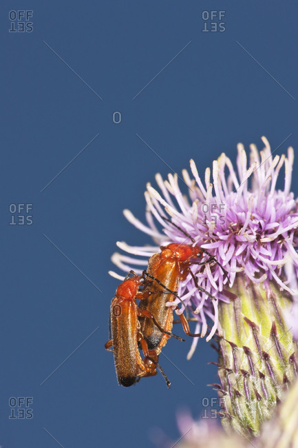 Soldier beetles mating on thistle flower aster Family