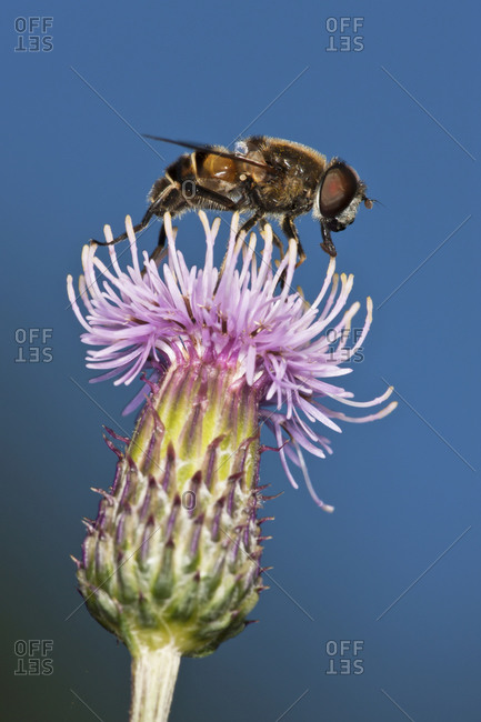 Fly on thistle animals in the wild