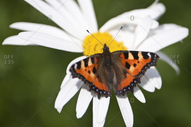 Small tortoiseshell butterfly on ox eye daisy animals in the wild