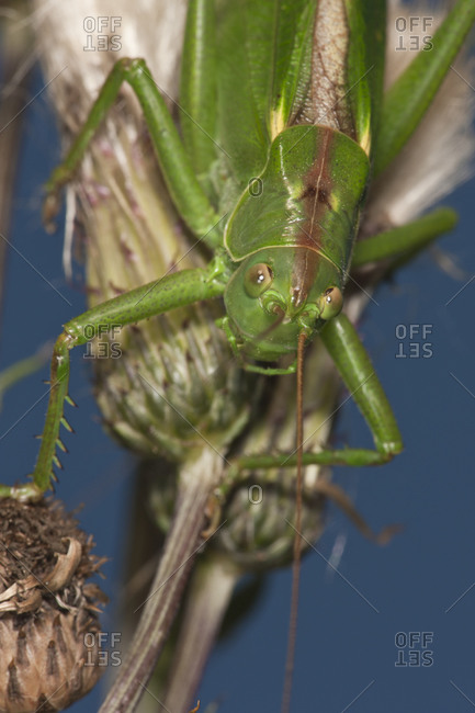 Close up of Great green bush cricket camouflage