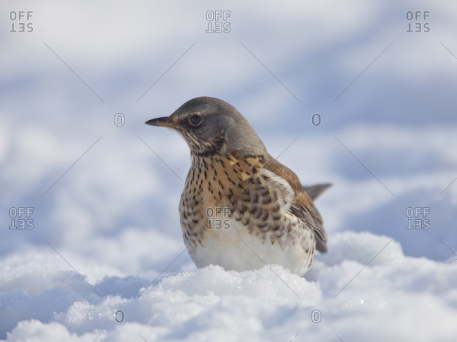 Fieldfare on snow in the wild