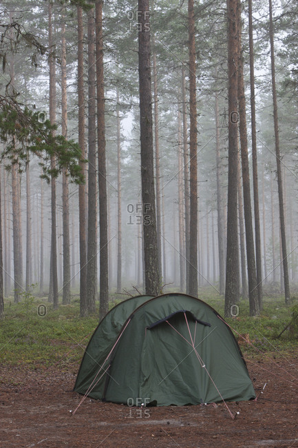 Tent in pine forest