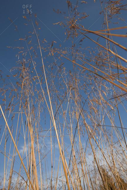 Dry grass against blue sky blue