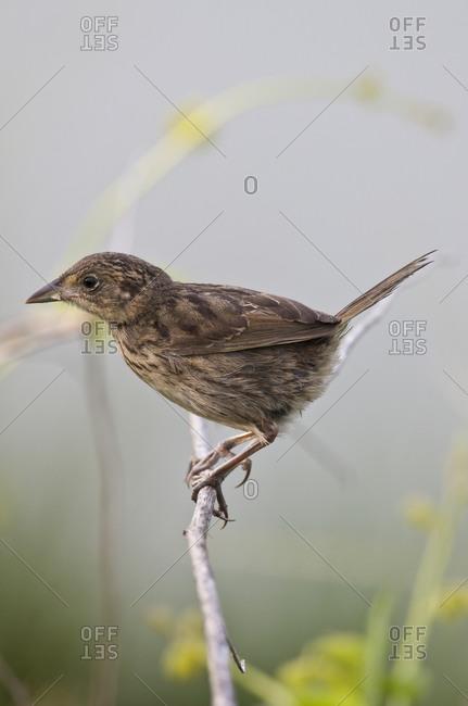 Brown Bird on twig - Offset