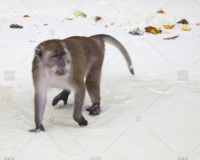 Macaque on White Sand in the wild