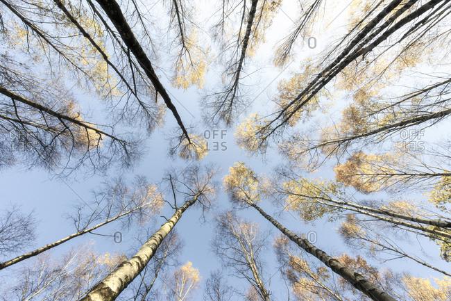 Birch trees against sky