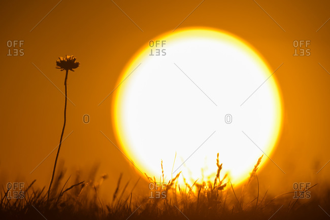 Silhouette of flower with sunset in background Armeria maritima
