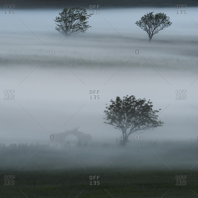 Elks and trees in evening fog in the wild