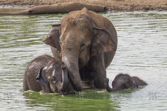 Elephants showering in puddle Family