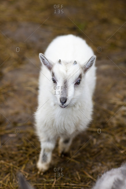 White goat kid, high angle view