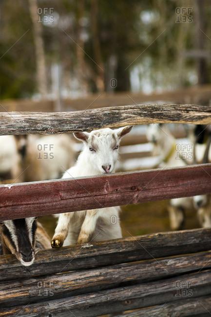 White goat kid in animal pen
