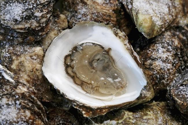 A fresh oyster, open