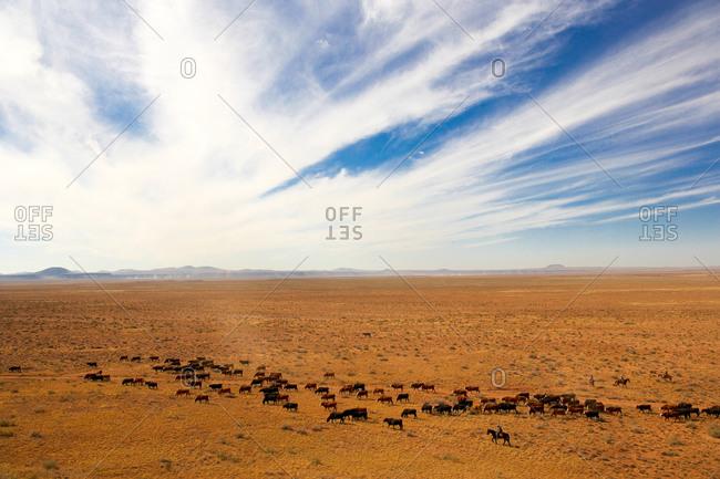 A team of cattle wrestlers move a heard of cows down a dusty Arizona desert trail.
