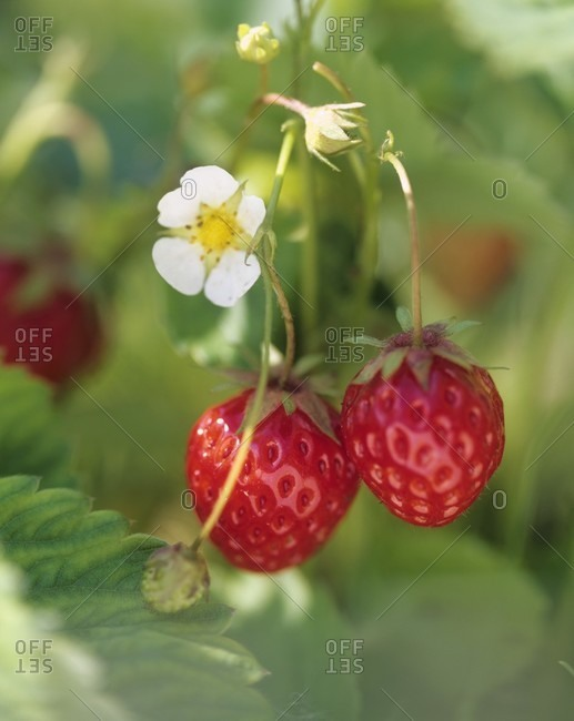 Strawberries and strawberry flower on the plant