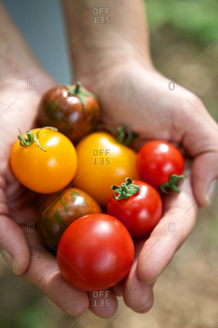 Woman's hand holding fresh cropped tomatoes