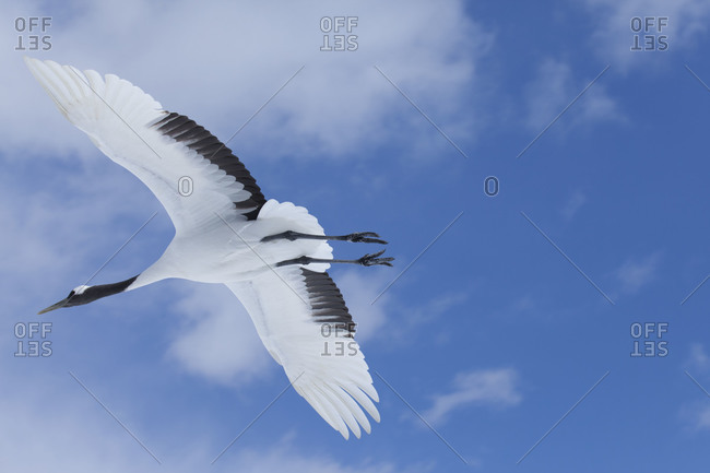 A male red crowned crane in flight