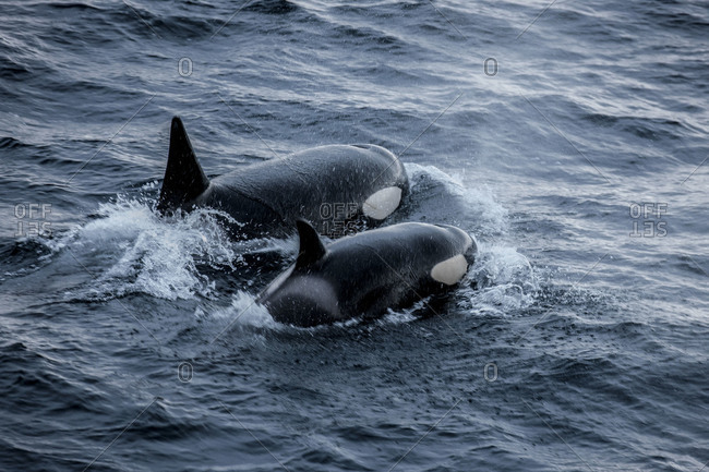 Two killer whales coming up to the surface for air while swimming