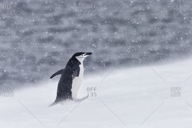 A chinstrap penguin walking on snow