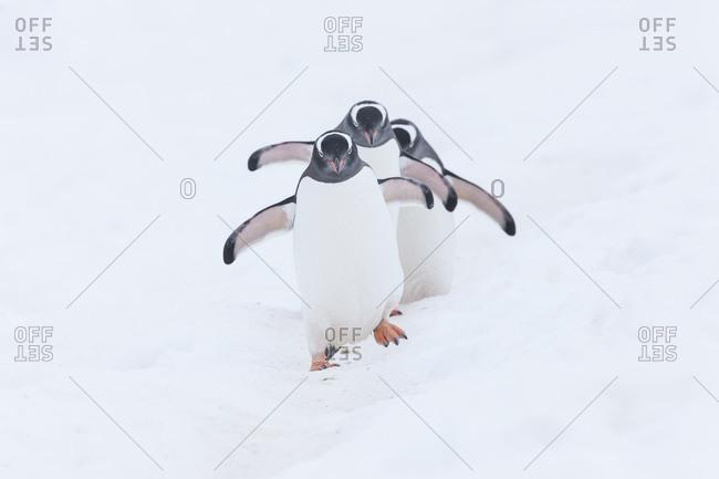 Three Gentoo penguins walking through snow