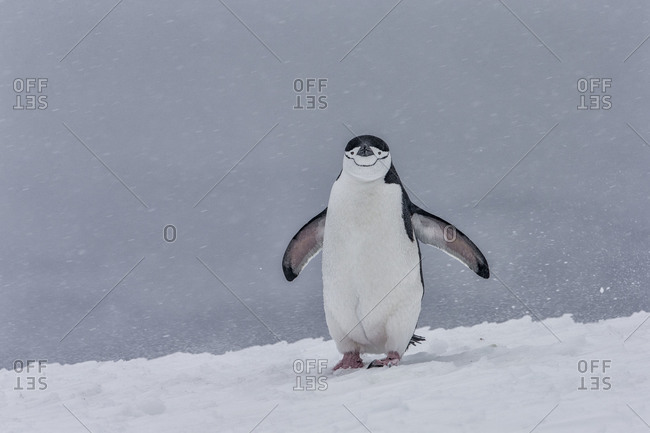 A chinstrap penguin standing on snow