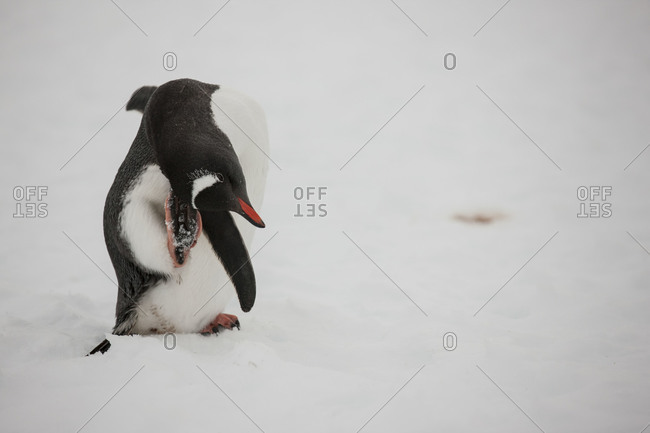 A Gentoo penguin scratching it's head with it's foot