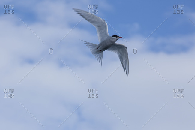 Arctic tern flying in the sky