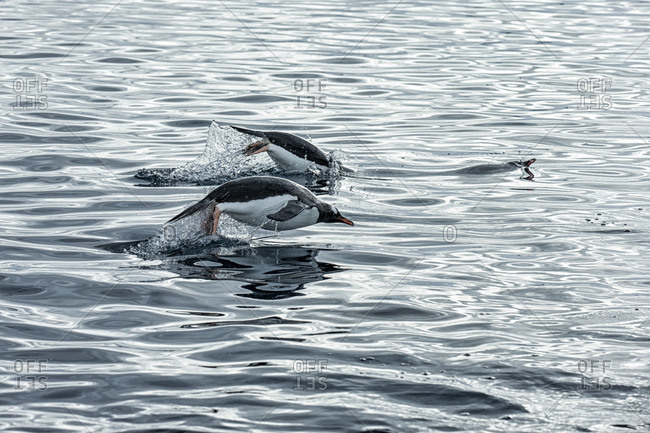 Gentoo penguins swimming in the icy waters around Antarctica