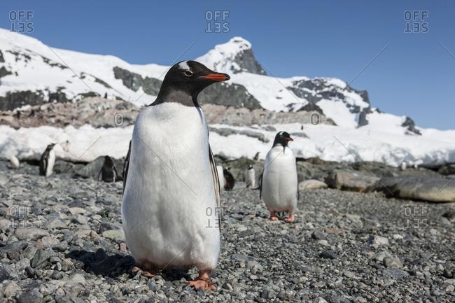 Gentoo penguins standing on Antarctic
