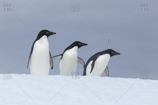 Three Adeline penguins standing in the snow of Antarctica