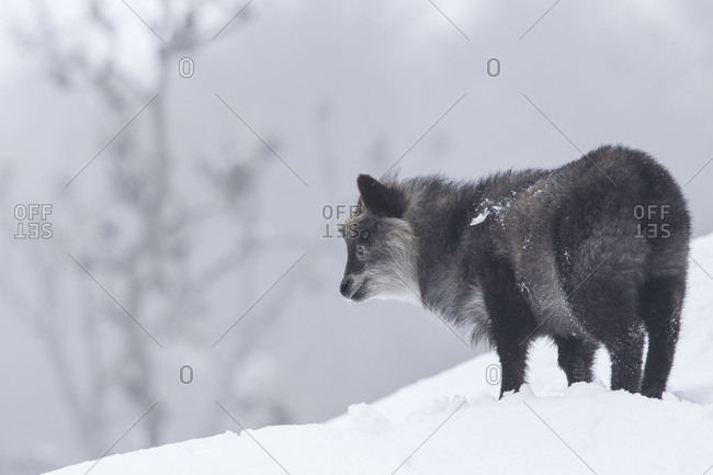 A Japanese serow standing in snow
