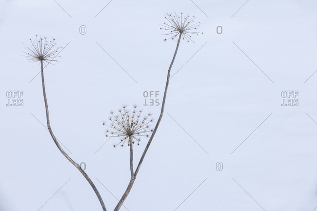 Dead foliage in winter