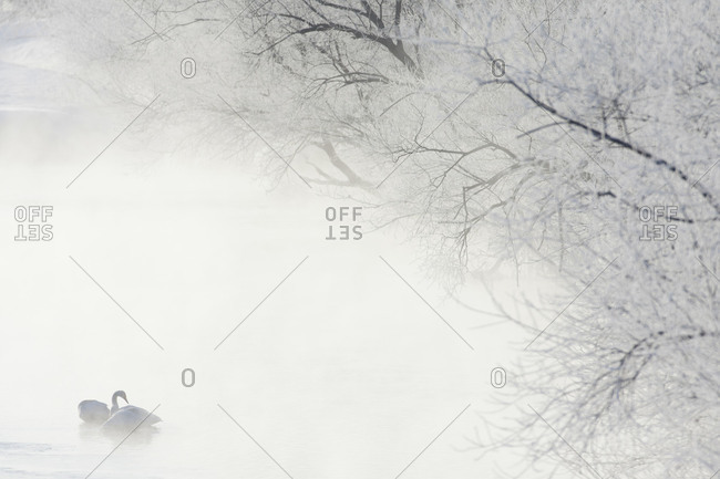 Swan on a lake surrounded by fog