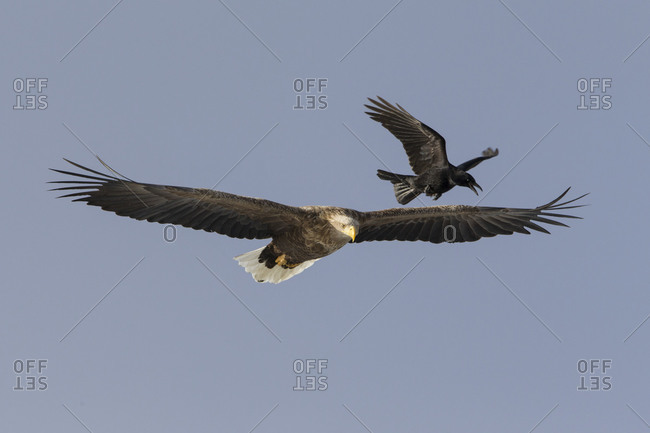 A crow pesters a large sea eagle in flight